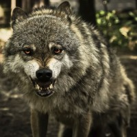 snarling-wolf