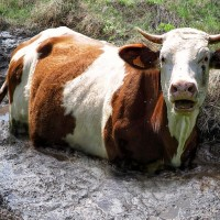 Cow Stuck in Bog 2