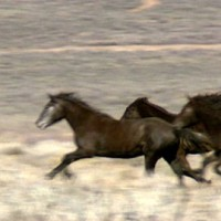 stock-footage-a-group-of-wild-horses-move-across-the-foothills-near-reno-nevada