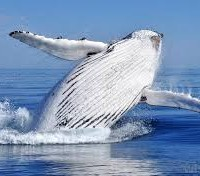 """Roy Hill """"whale"""" breaches off Port Hedland"""