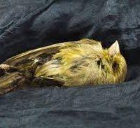 Canary croaks in Brisbane apartment market