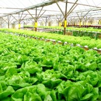 APRA orders urgent restock of wet lettuce