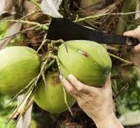 Inside the RBA's cash for coconuts facility
