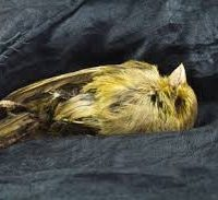 Blackmores is the dead Australian canary