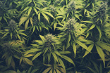 Global regulatory changes mark a high point for cannabis stocks
